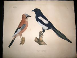 Goldfuss C1830 LG Folio Hand Colored Bird Print. Magpie & Eurasian Jay